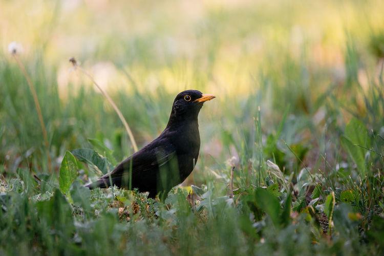 Blackbird perching on grassy field