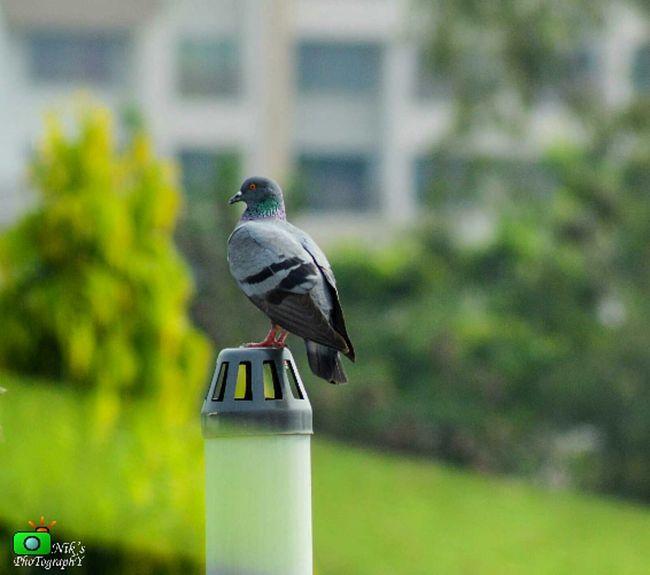 One Wild Night Pegions Nikon D3200 Wildlife Bird Photography