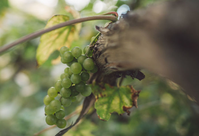 Vine Vineyard Plant Harvest Harvesting Harvest Time Autumn Growth Fruit Food And Drink Food Healthy Eating Green Color Nature Agriculture Day Close-up Selective Focus Tree Freshness Leaf Plant Part Outdoors Grape No People Ripe Winemaking Plantation