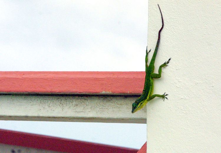 Coming down the wall Lizard Animal Animal Themes Animal Wildlife Animals In The Wild Chameleon Close-up Green Color Insect One Animal Reptile Wall - Building Feature Wall Climber