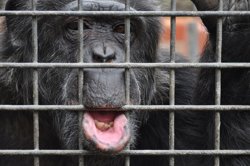 Mammal Animals In Captivity One Animal Primate Close-up Mouth Open Animal Body Part No People Zoo Sad Ape Monkey Chimpanzee Captivity Cage