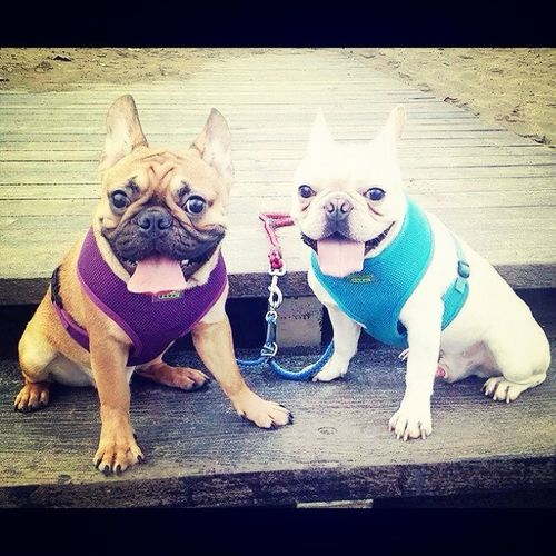 My Thunder with Sean. Frenchbulldog My French Bulldog <3 Mydog♡ My Pet I Love My Dog