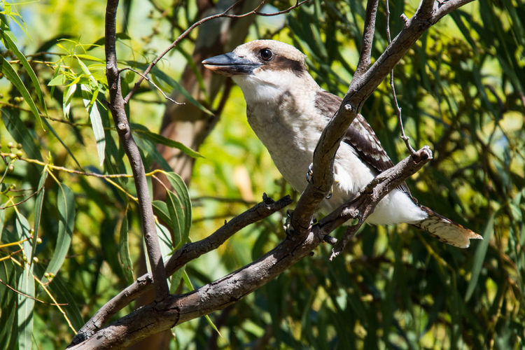 Gazisonit Kookaburra Animal Themes Animal Wildlife Animals In The Wild Beauty In Nature Bird Branch Close-up Day Focus On Foreground Low Angle View Mammal Nature No People One Animal Outdoors Perching Tree