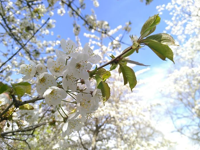 Cherry Blossom In Bloom Blooming Cherry Tree Flower Head Fruit Tree