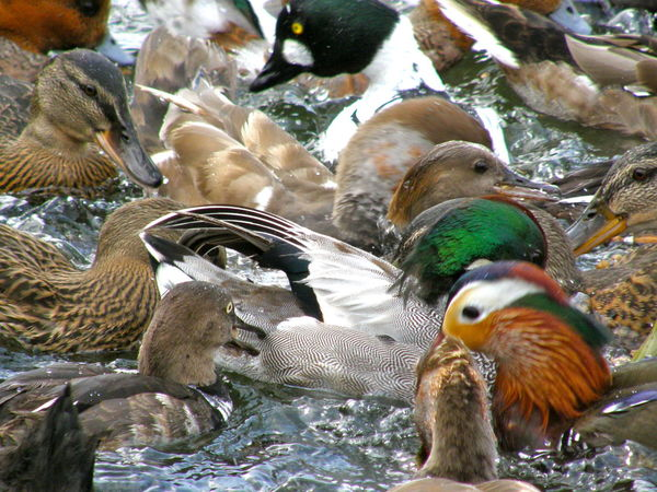 Ducks squabbling Bird Day Ducks Goldeneyeduck Mandarin Nature Outdoors Splashing Squabble Water