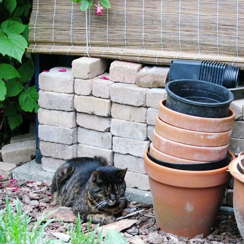 Sylvester Old Cat Tabby Cat Mighty Hunter Old Photo Garden Wood Store Bricks Flower Pots In The Sunshine Summer Rose Petals