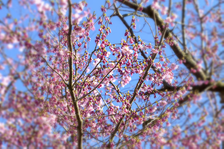 Cherry blossoms over blue sky background Plant Flowering Plant Flower Freshness Beauty In Nature Tree Springtime Blossom Pink Color Selective Focus Low Angle View Nature Spring Cherry Tree