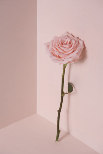 Close-up of pink rose in vase against wall