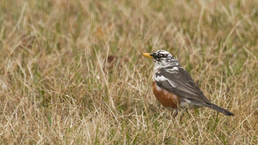 Leucistic American Robin American Robin Animal Animal Themes Animal Wildlife Animals In The Wild Bird Close-up Day Field Focus On Foreground Grass Inherited Land Leucism Leucistic Nature No People One Animal Outdoors Robin Selective Focus Side View Trait Vertebrate White Patches