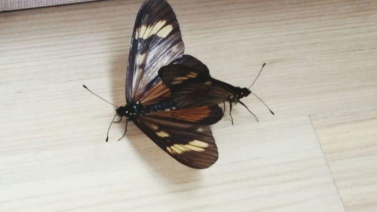 Butterfly Borboletas