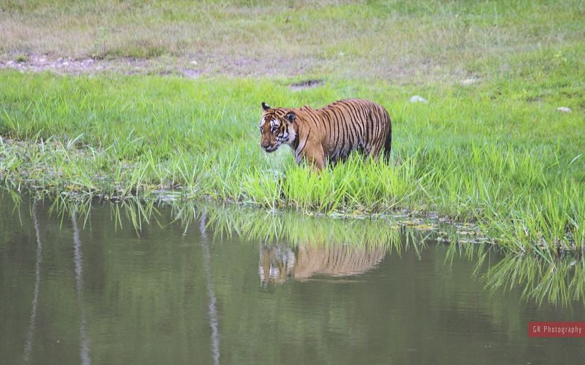 Tiger Animal Photography EyeEm Nature Lover Eyeemanimal Lover Tiger-love Photography Open Edit For Everyone Reflections Forest Wildlife & Nature