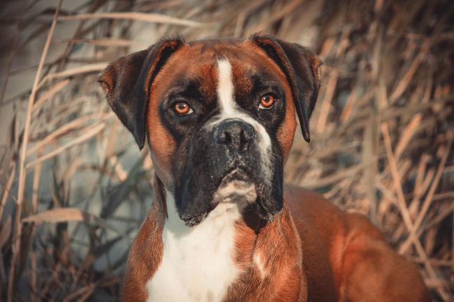 No People Pets Portrait Looking At Camera One Animal Focus On Foreground Boxer Boxer Dog Boxerdog Boxersarebest