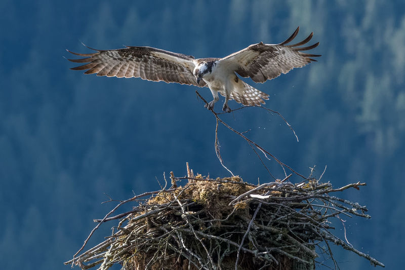 Osprey building nest Osprey  Osprey Nest  Bird Birds Birds Of EyeEm  Birds_collection Birds🐦⛅ Birds In Flight Animal Animal Wildlife Animals In The Wild Animal Themes Vertebrate No People Mid-air Animals Wildlife & Nature Willow Wildlife Photography Animals In The Wild Nature Outdoors Animal Nest Spread Wings One Animal