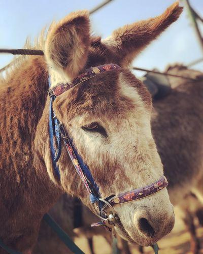 Donkey Donkey At Beach Donkey Animal Themes Animal Close-up Vertebrate Domestic Animal Head  Bridle Working Animal Brown