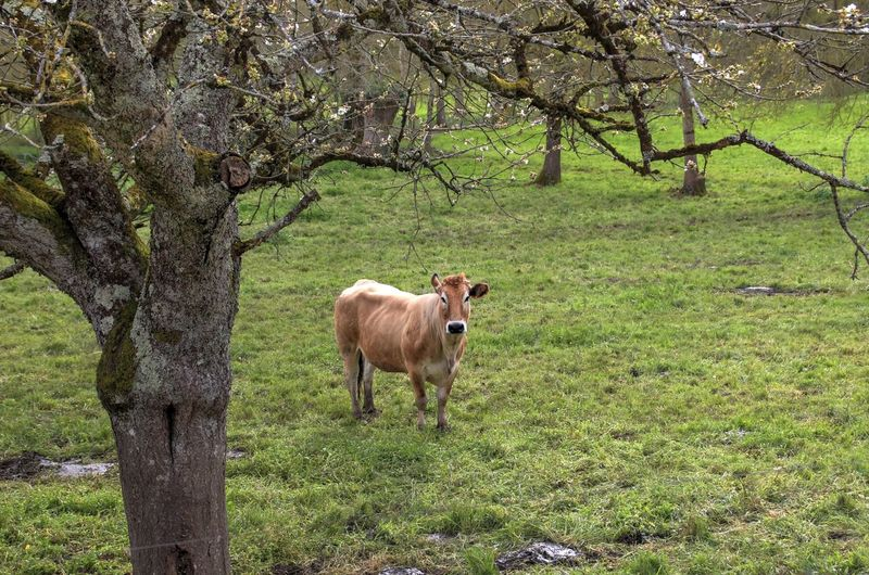 Cow Landscape Field Outdoors Animal Domestic Animals