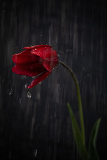 Close-up of red rose flower in water