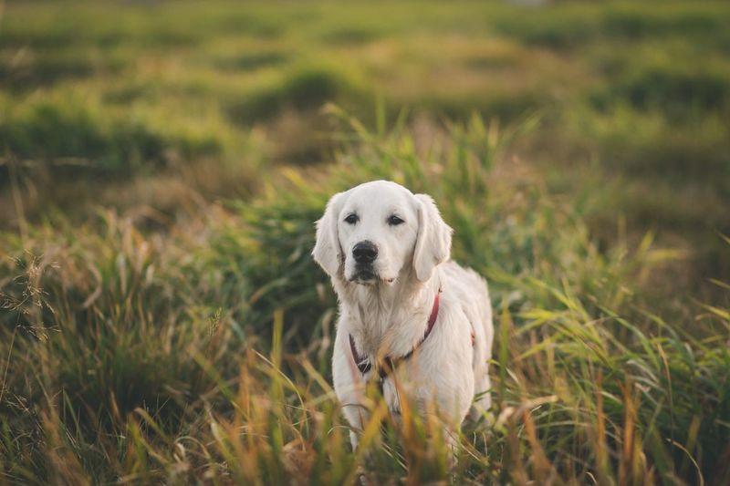 EyeEm Selects One Animal Mammal Canine Domestic Domestic Animals Pets No People Dog Grass Plant Field Nature Retriever Vertebrate Day Land Portrait