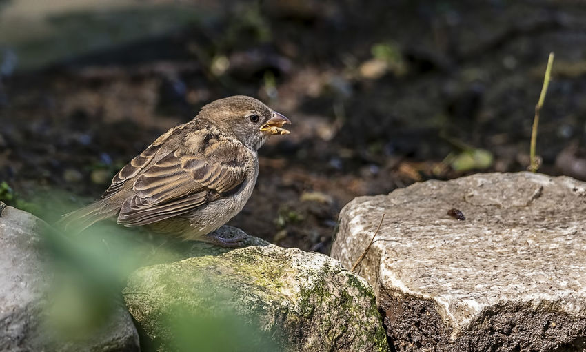 A house sparrow having a snack. House Sparrow Sparrow Bird Animal Themes Animal Animal Wildlife Animals In The Wild One Animal Rock Nature Perching Outdoors Looking Avian Ornithology  Beauty In Nature