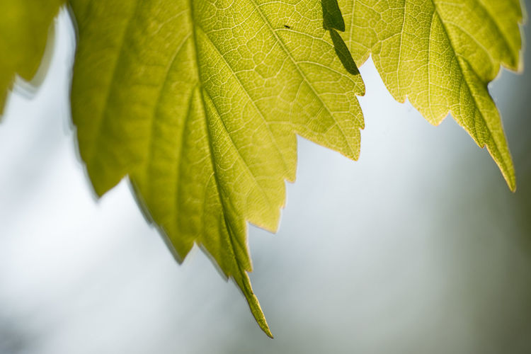 Leaf - 4 Leaf Plant Part Plant Green Color Nature Close-up Growth No People Tree Leaf Vein Day Beauty In Nature Focus On Foreground Outdoors Leaves Freshness Branch Selective Focus Autumn Yellow Maple Leaf