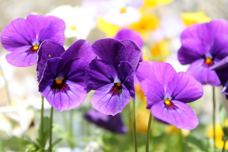 Flower Fragility Nature Purple Plant Focus On Foreground Petal Blooming Flower Head Freshness Beauty In Nature Close-up Growth No People Day Outdoors Colorful Colour Beauty Pettle Pettles