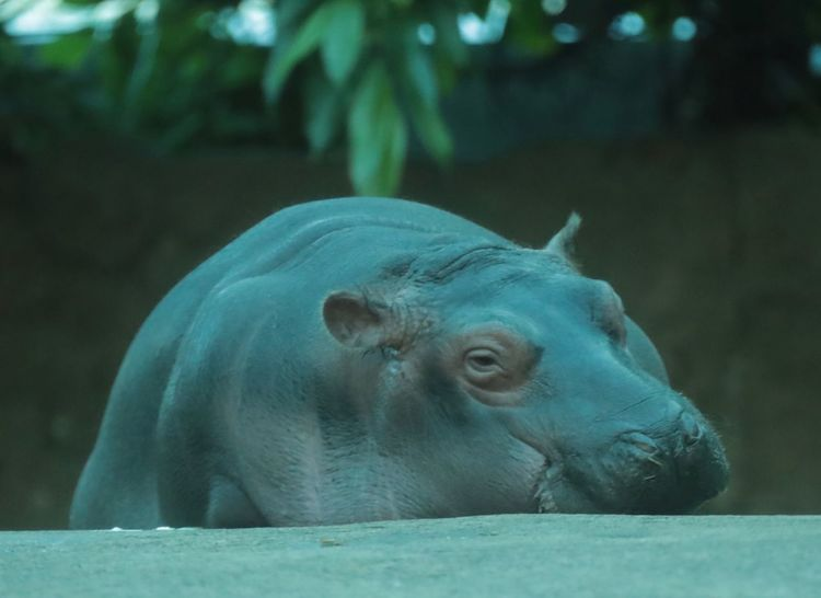 Animal Themes One Animal Mammal Focus On Foreground No People Day Close-up Nature Hippo