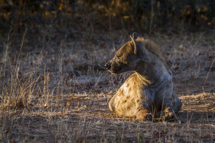 Hyena sitting on land