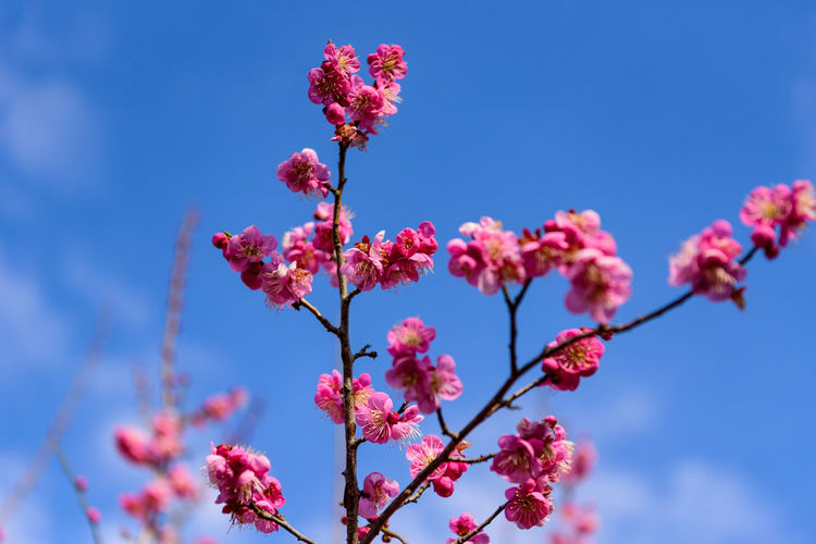 Flower Flowering Plant Plant Growth Beauty In Nature Fragility Vulnerability  Freshness Pink Color Low Angle View Blossom Sky Close-up Nature Day Branch Springtime No People Tree Petal Outdoors Flower Head Cherry Blossom Cherry Tree 曽我梅林