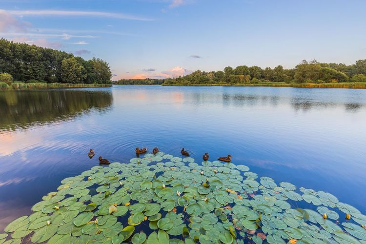 Scenic View Of Ducks And Water Lily In Lake