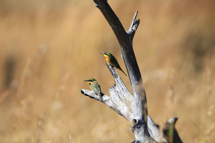 High angle view of bee-eaters perching on bare tree