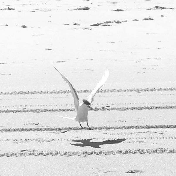Animals In The Wild Animal Themes One Animal Animal Wildlife Bird Nature Outdoors Day Flying Beauty In Nature Spread Wings No People Sand Beach Sea