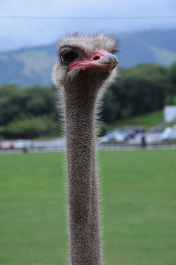 Animal Eye Animal Head  Animal Themes Animals In The Wild Avian Beak Beauty In Nature Bird Close-up Focus On Foreground Green Color Long Nature No People One Animal Ostrich Outdoors Tranquility Wildlife Zoology