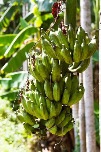 Bananas growing wild in the south of Sri Lanka. Growth Green Color Plant Fruit Close-up Focus On Foreground Day Nature Food Beauty In Nature No People Food And Drink Healthy Eating Plant Part Freshness Outdoors Leaf Tree Wellbeing Banana