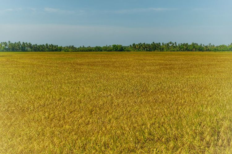 Field Landscape Agriculture Land Sky Beauty In Nature Tranquility Growth Tranquil Scene Plant Rural Scene Environment Scenics - Nature Farm Crop  Day Nature No People Cereal Plant Outdoors Plantation