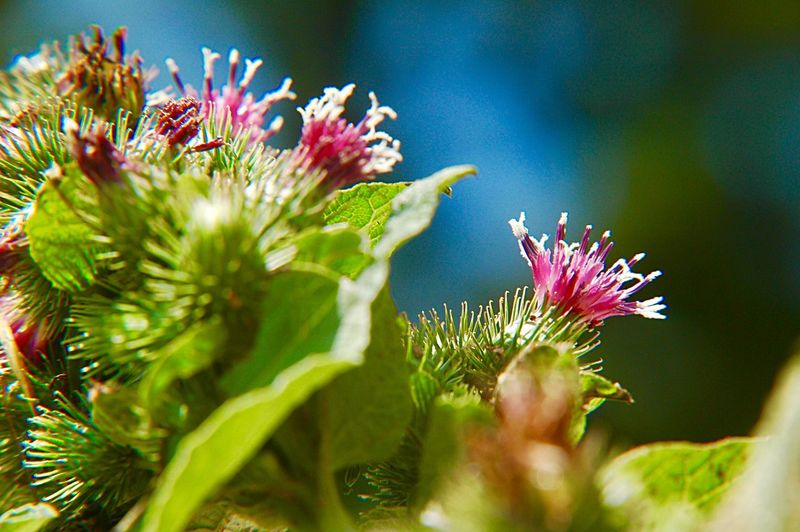 Greater Burdock Arctium Lappa Wildflower Blossom Plant Flower Flowering Plant Freshness Growth Close-up Vulnerability  Nature Petal Beauty In Nature Flower Head Selective Focus Inflorescence No People Fragility Outdoors Pink Color Purple