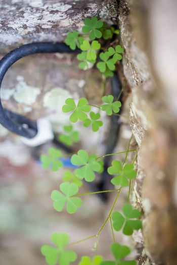 Life sprouts where it will. Beauty In Nature Botany Close-up Day Focus On Foreground Green Green Color Growing Growth Leaf Natural Pattern Nature No People Outdoors Plant Selective Focus Stone Wall Tranquility