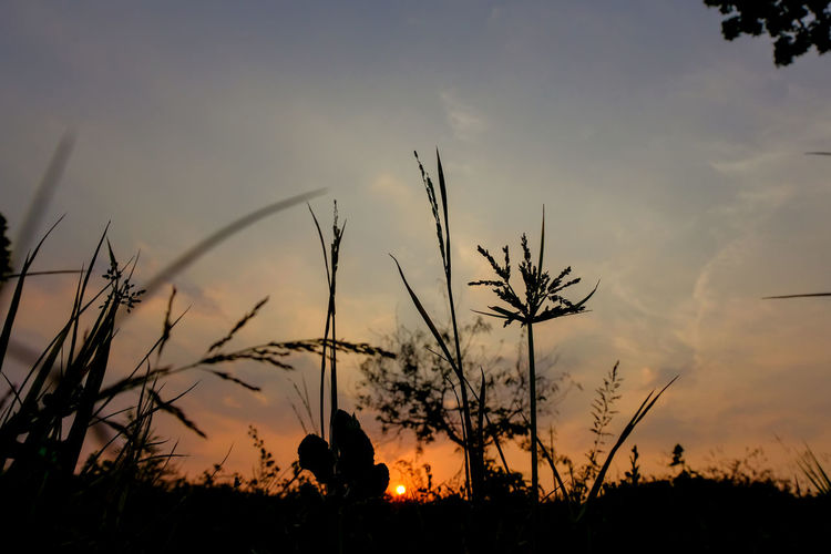 Low angle view of silhouette plants on field against sky during sunset