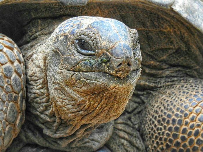 Close-up portrait of giant tortoise