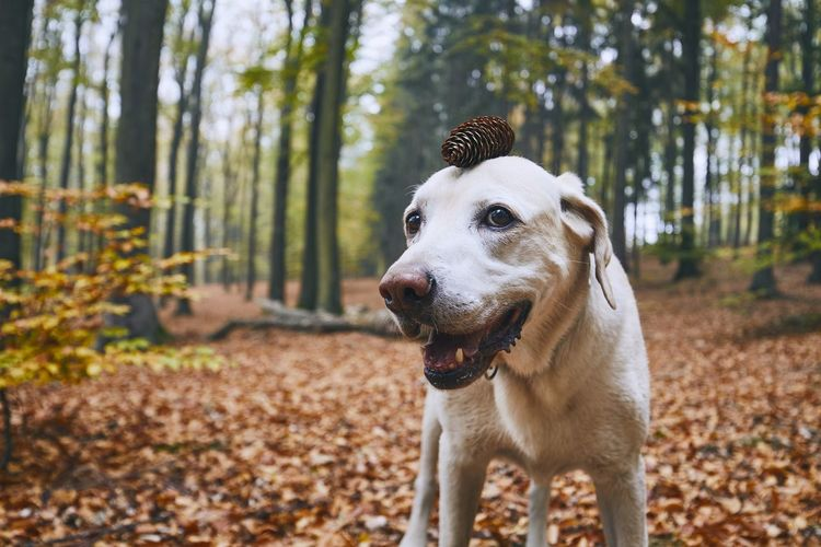 Dog in autumn forest. Funny portrait of labrador retriever with pine cone on head. Dog Canine Pets Animal Animal Themes Labrador Autumn Fall Leaves Forest WoodLand Season  Nature Pine Cone Cone Portrait Funny Crazy Balance Animal Head  Happiness Playful Playing Discovery Enjoyment