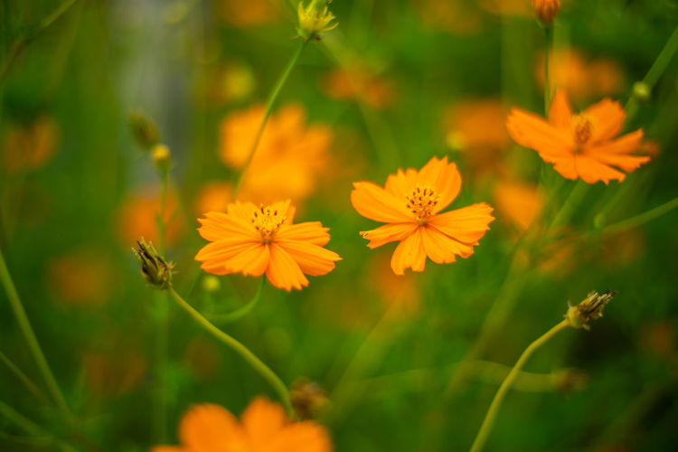 Close-up of yellow cosmos flowers on field
