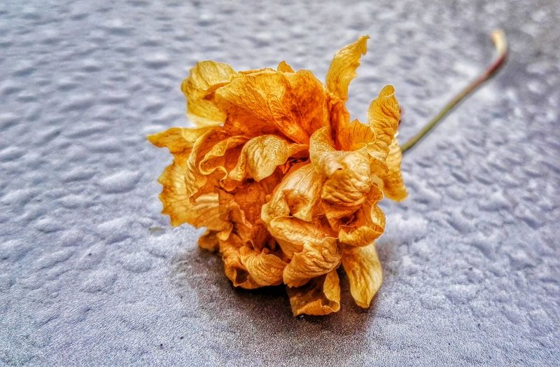 Fallen Blossoms On My Car This Morning. Dead Flowers