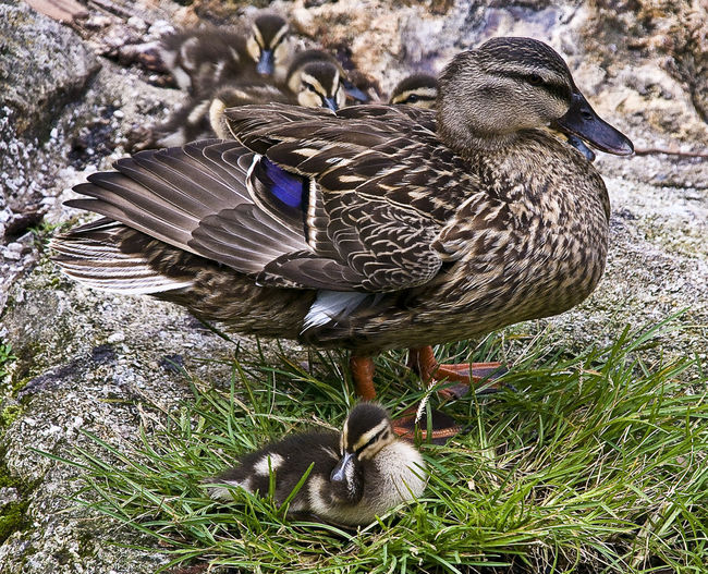Animal Themes Beauty In Nature Ducks Feather  Mon And Child Nature Outdoors Water Bird Wildlife
