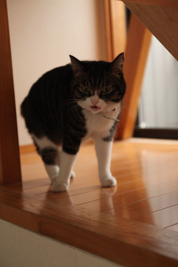 Close-Up Of Angry Cat On Hardwood Floor
