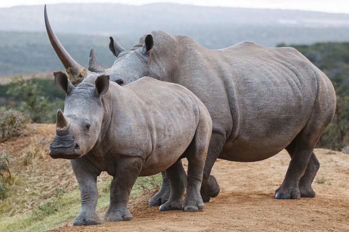 Animals In The Wild Day EyeEmNewHere Mammal Nature No People Outdoors Rhinos Safari Adventure Safari Animals