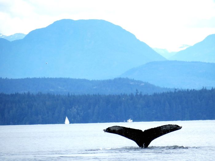 west coast-humpback Whale Ocean Mountain Mountains And Sky Mountains And Sea Humpback Whale Tail Humpback Whale Mountain Water Animals In The Wild Whale Animal Wildlife One Animal Animal Themes Marine Humpback Whale Aquatic Mammal Scenics - Nature No People Beauty In Nature Sea My Best Photo
