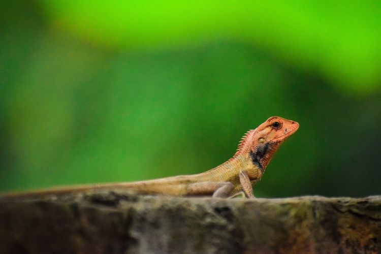 garden lizard Nature Nature_collection Nature Photography Animal Animal Themes Animals In The Wild Wildlife Wildlife & Nature Wildlife Photography Garden Lizard Lizard Reptile Chameleon Lizard Close-up Animal Themes Green Color