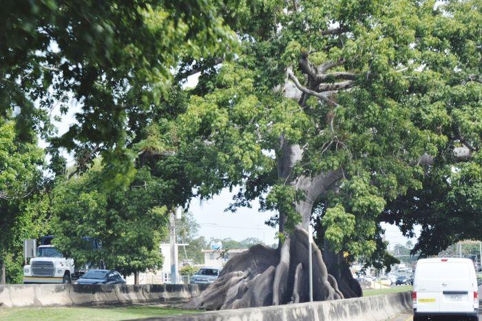 Tree Growth Outdoors PUERTO RICO 🇵🇷 Ceiba Tree Ceiba, Puerto Rico