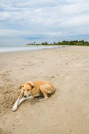 Stray Dog Lying Down On Beach Against Sky, Gambia, Africa