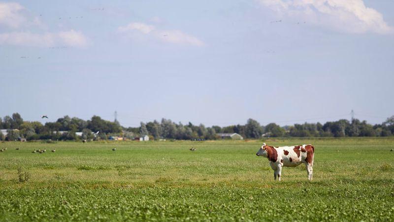 Dutch Countyside Landscape Cow Flat Flat Flat