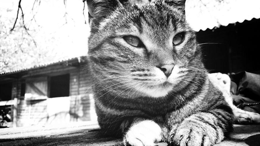 Cat TabbyCat Cute