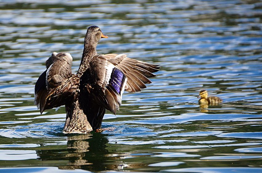 Duck on lake with ducklings Bird Animals In The Wild Animal Themes Water Animal Animal Wildlife Vertebrate One Animal Lake Poultry Duck Waterfront Nature No People Rippled Day Flying Water Bird Animal Wing Flapping